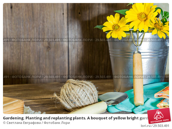 Купить «Gardening. Planting and replanting plants. A bouquet of yellow bright garden flowers in a steel bucket and garden tools on a wooden background in rustic style with a copy space», фото № 29503491, снято 9 сентября 2018 г. (c) Светлана Евграфова / Фотобанк Лори