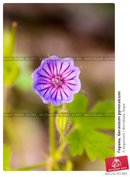 Купить «Герань. Geranium pyrenaicum», фото № 61951, снято 23 июня 2007 г. (c) Argument / Фотобанк Лори