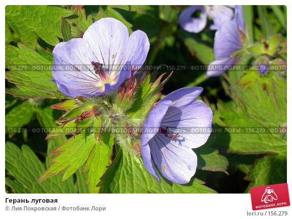 Герань луговая, фото № 156279, снято 18 июля 2006 г. (c) Лия Покровская / Фотобанк Лори
