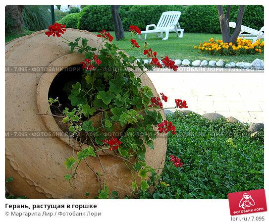 Герань, растущая в горшке, фото № 7095, снято 8 июля 2006 г. (c) Маргарита Лир / Фотобанк Лори