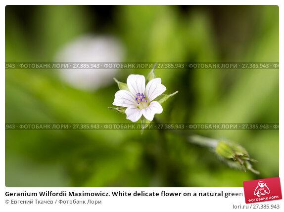 Купить «Geranium Wilfordii Maximowicz. White delicate flower on a natural green background», фото № 27385943, снято 21 июня 2014 г. (c) Евгений Ткачёв / Фотобанк Лори