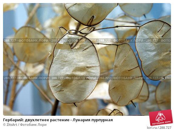Гербарий: двухлетнее растение - Лунария пурпурная, фото № 288727, снято 17 мая 2008 г. (c) ZitsArt / Фотобанк Лори