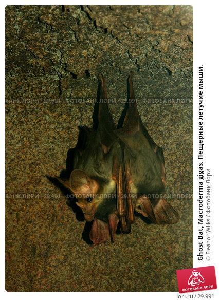 Ghost Bat, Macroderma gigas. Пещерные летучие мыши., фото № 29991, снято 30 апреля 2007 г. (c) Eleanor Wilks / Фотобанк Лори