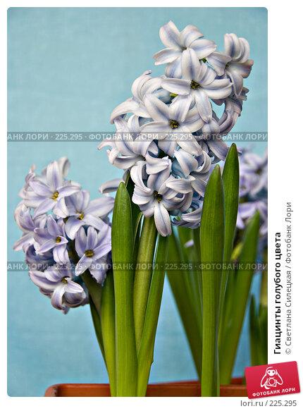 Купить «Гиацинты голубого цвета», фото № 225295, снято 17 марта 2008 г. (c) Светлана Силецкая / Фотобанк Лори