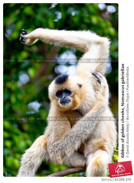 Gibbon of golden cheeks, Nomascus gabriellae. Стоковое фото, фотограф David Acosta Allely / PantherMedia / Фотобанк Лори