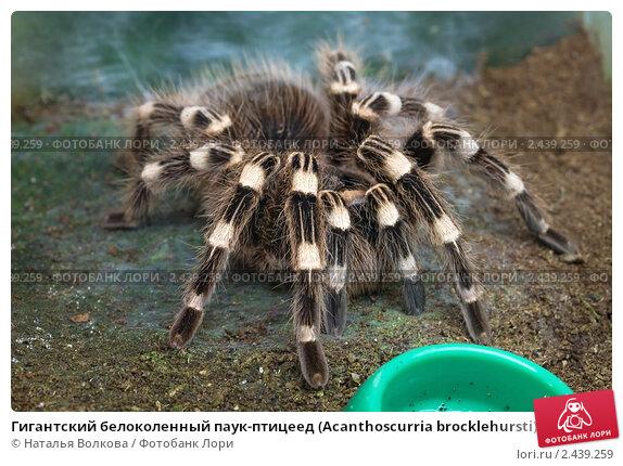 Купить «Гигантский белоколенный паук-птицеед (Acanthoscurria brocklehursti)», фото № 2439259, снято 6 ноября 2010 г. (c) Наталья Волкова / Фотобанк Лори