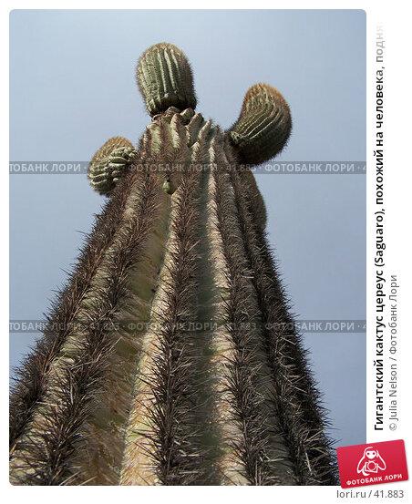 Гигантский кактус цереус (Saguaro), похожий на человека, поднявшего вверх руки, фото № 41883, снято 20 января 2007 г. (c) Julia Nelson / Фотобанк Лори
