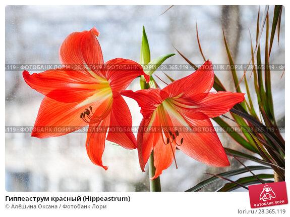 Купить «Гиппеаструм красный (Hippeastrum)», фото № 28365119, снято 21 февраля 2015 г. (c) Алёшина Оксана / Фотобанк Лори