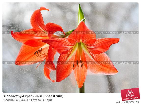Купить «Гиппеаструм красный (Hippeastrum)», фото № 28365155, снято 21 февраля 2015 г. (c) Алёшина Оксана / Фотобанк Лори
