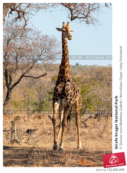 Girafe kruger National Park. Стоковое фото, фотограф Zoonar.com/Matthieu Gallett / easy Fotostock / Фотобанк Лори
