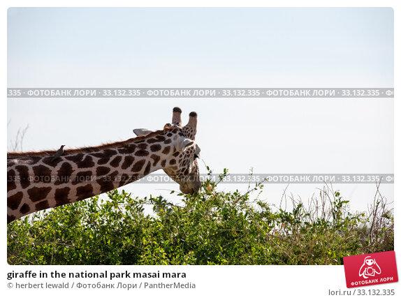 Купить «giraffe in the national park masai mara», фото № 33132335, снято 13 июля 2020 г. (c) PantherMedia / Фотобанк Лори