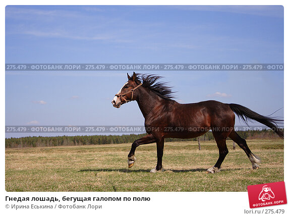 Гнедая лошадь, бегущая галопом по полю, фото № 275479, снято 30 апреля 2008 г. (c) Ирина Еськина / Фотобанк Лори