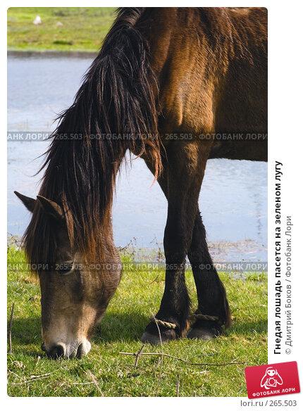 Купить «Гнедая лошадь пасется на зеленом лугу», фото № 265503, снято 20 апреля 2008 г. (c) Дмитрий Боков / Фотобанк Лори