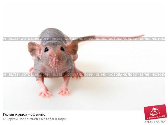Купить «Голая крыса - сфинкс», фото № 88763, снято 23 сентября 2007 г. (c) Сергей Лаврентьев / Фотобанк Лори