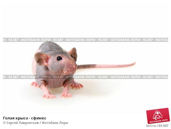 Голая крыса - сфинкс, фото № 93587, снято 23 сентября 2007 г. (c) Сергей Лаврентьев / Фотобанк Лори