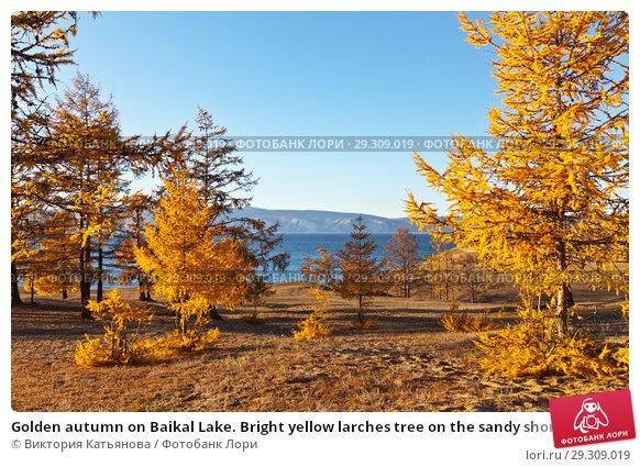 Купить «Golden autumn on Baikal Lake. Bright yellow larches tree on the sandy shore of the Small Sea on Olkhon Island in the sunset light», фото № 29309019, снято 13 октября 2018 г. (c) Виктория Катьянова / Фотобанк Лори