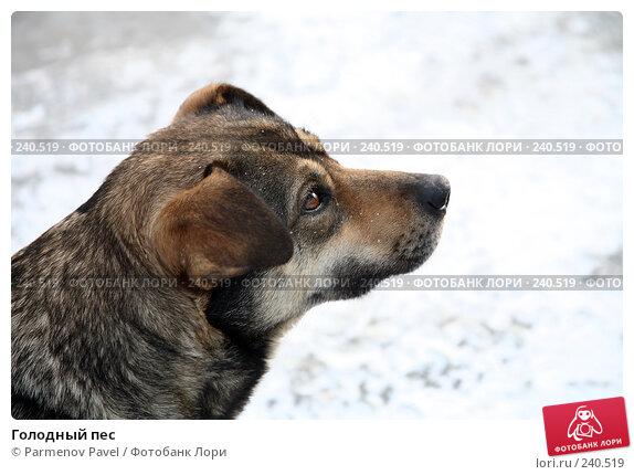 Голодный пес, фото № 240519, снято 24 февраля 2008 г. (c) Parmenov Pavel / Фотобанк Лори