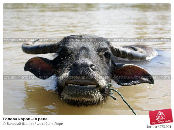 Голова коровы в реке, фото № 273991, снято 10 декабря 2007 г. (c) Валерий Шанин / Фотобанк Лори