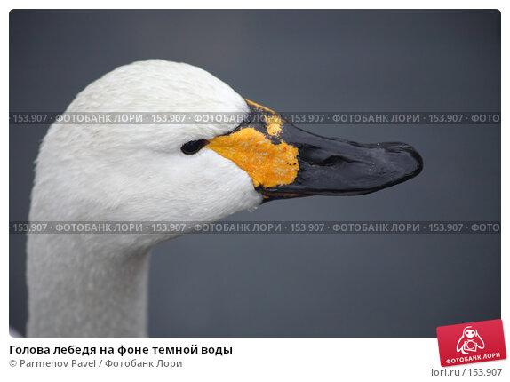 Купить «Голова лебедя на фоне темной воды», фото № 153907, снято 11 декабря 2007 г. (c) Parmenov Pavel / Фотобанк Лори