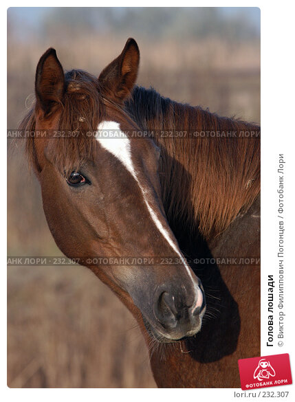 Голова лошади, фото № 232307, снято 6 ноября 2004 г. (c) Виктор Филиппович Погонцев / Фотобанк Лори