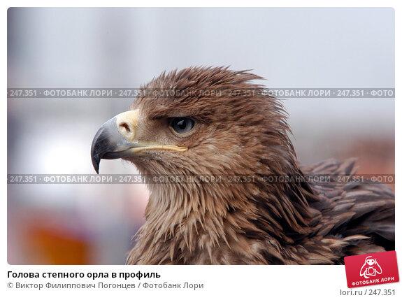 Голова степного орла в профиль, фото № 247351, снято 3 апреля 2005 г. (c) Виктор Филиппович Погонцев / Фотобанк Лори