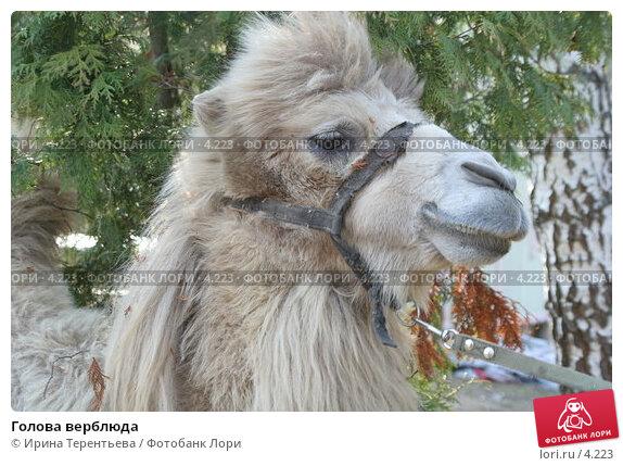 Купить «Голова верблюда», эксклюзивное фото № 4223, снято 1 мая 2006 г. (c) Ирина Терентьева / Фотобанк Лори