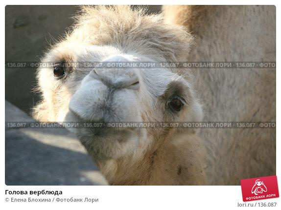 Голова верблюда, фото № 136087, снято 2 октября 2007 г. (c) Елена Блохина / Фотобанк Лори