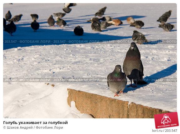 Голубь ухаживает за голубкой, фото № 203547, снято 7 февраля 2008 г. (c) Шахов Андрей / Фотобанк Лори
