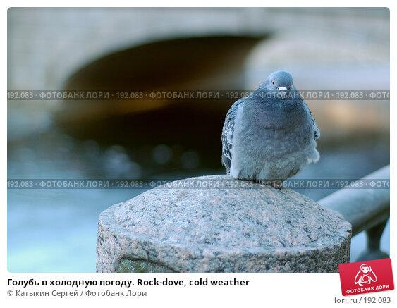 Голубь в холодную погоду. Rock-dove, cold weather, фото № 192083, снято 3 января 2008 г. (c) Катыкин Сергей / Фотобанк Лори