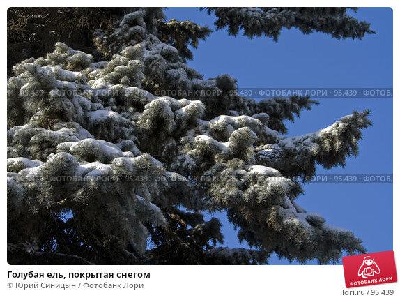 Голубая ель, покрытая снегом, фото № 95439, снято 26 января 2007 г. (c) Юрий Синицын / Фотобанк Лори
