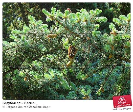 Купить «Голубая ель. Весна.», фото № 47807, снято 26 мая 2007 г. (c) Петрова Ольга / Фотобанк Лори