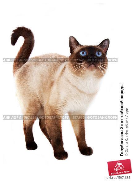 Купить «Голубоглазый кот тайской породы», фото № 597635, снято 15 сентября 2019 г. (c) Ольга С. / Фотобанк Лори