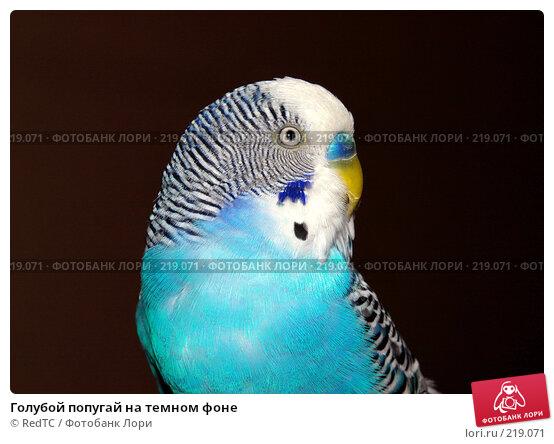 Голубой попугай на темном фоне, фото № 219071, снято 2 января 2006 г. (c) RedTC / Фотобанк Лори