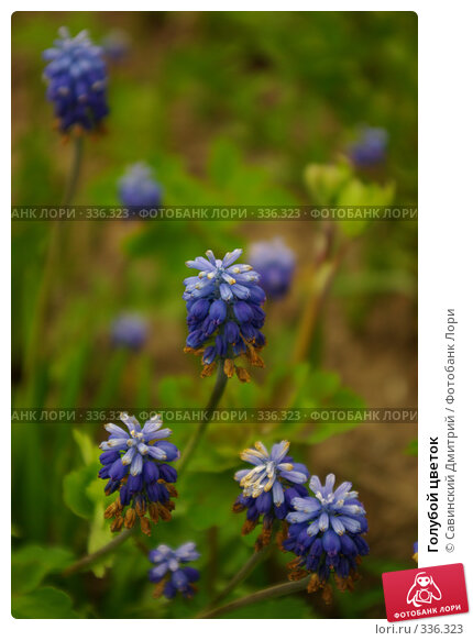 Голубой цветок, фото № 336323, снято 9 июня 2008 г. (c) Савинский Дмитрий / Фотобанк Лори