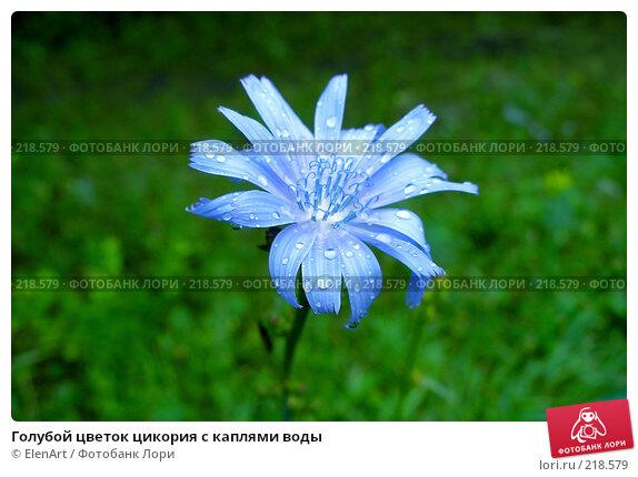 Голубой цветок цикория с каплями воды, фото № 218579, снято 30 марта 2017 г. (c) ElenArt / Фотобанк Лори
