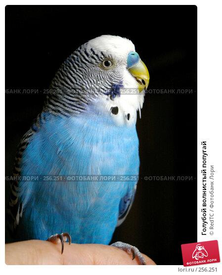 Голубой волнистый попугай, фото № 256251, снято 19 апреля 2008 г. (c) RedTC / Фотобанк Лори