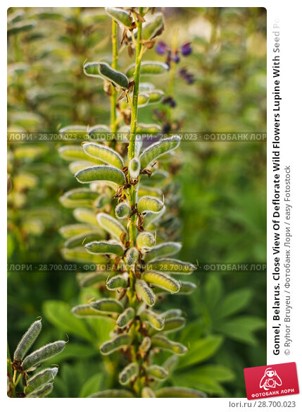 Купить «Gomel, Belarus. Close View Of Deflorate Wild Flowers Lupine With Seed Pods In Summer Meadow Field In Spring Summer Sunset Sunrise. Lupinus, Lupin, Lupine...», фото № 28700023, снято 13 июня 2016 г. (c) easy Fotostock / Фотобанк Лори