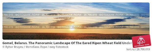 Купить «Gomel, Belarus. The Panoramic Landscape Of The Eared Ripen Wheat Field Under Scenic Summer Dramatic Sky In Sunset Dawn Sunrise. Skyline.», фото № 28700019, снято 8 июня 2016 г. (c) easy Fotostock / Фотобанк Лори