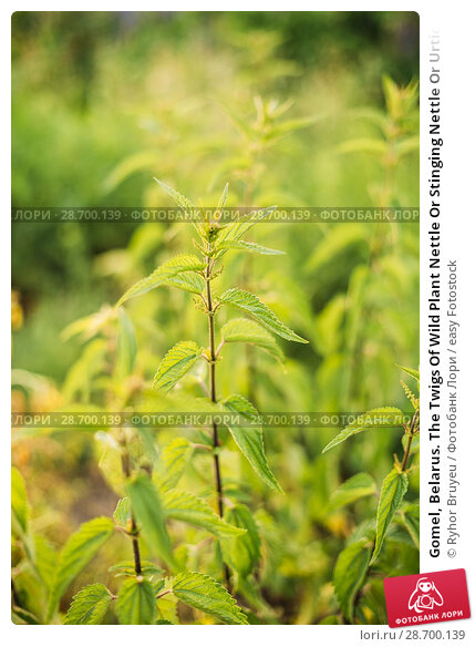 Купить «Gomel, Belarus. The Twigs Of Wild Plant Nettle Or Stinging Nettle Or Urtica Dioica In Summer Spring Meadow Field At Sunset Sunrise. Close Up.», фото № 28700139, снято 13 июня 2016 г. (c) easy Fotostock / Фотобанк Лори