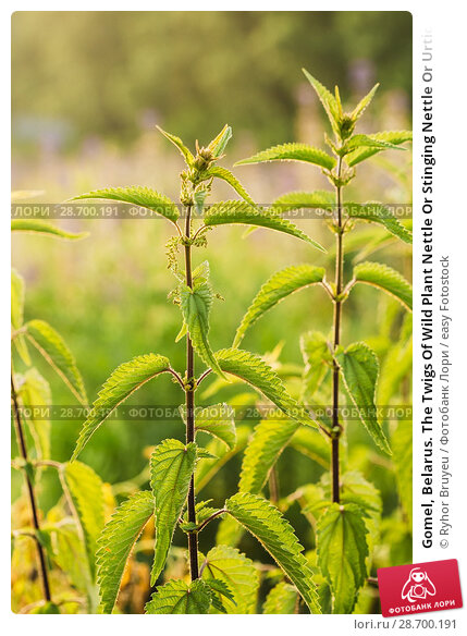Купить «Gomel, Belarus. The Twigs Of Wild Plant Nettle Or Stinging Nettle Or Urtica Dioica In Summer Spring Meadow Field At Sunset Sunrise. Close Up.», фото № 28700191, снято 13 июня 2016 г. (c) easy Fotostock / Фотобанк Лори