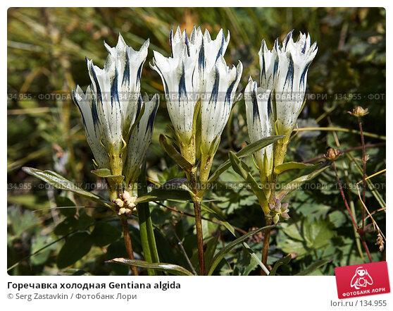 Горечавка холодная Gentiana algida, фото № 134955, снято 13 августа 2006 г. (c) Serg Zastavkin / Фотобанк Лори