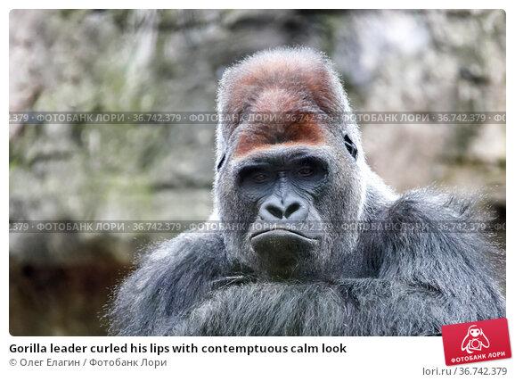 Gorilla leader curled his lips with contemptuous calm look. Стоковое фото, фотограф Олег Елагин / Фотобанк Лори