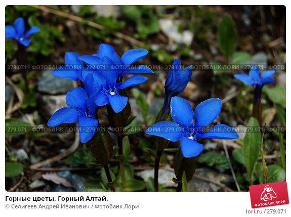 Горные цветы. Горный Алтай., фото № 279071, снято 11 июля 2006 г. (c) Селигеев Андрей Иванович / Фотобанк Лори