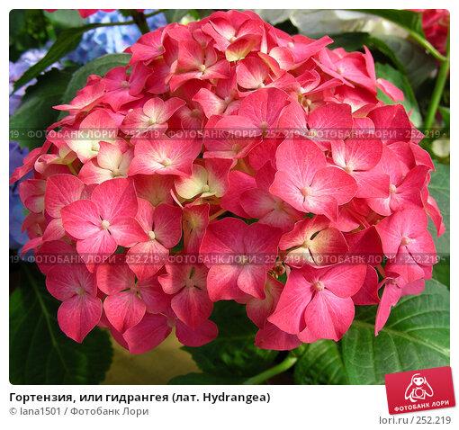 Гортензия, или гидрангея (лат. Hydrangea), эксклюзивное фото № 252219, снято 9 апреля 2008 г. (c) lana1501 / Фотобанк Лори