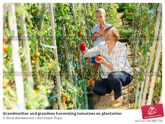 Grandmother and grandson harvesting tomatoes on plantation. Стоковое фото, фотограф Яков Филимонов / Фотобанк Лори