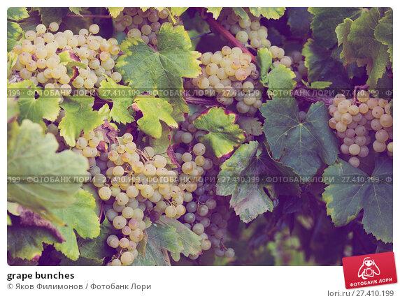 Купить «grape bunches», фото № 27410199, снято 22 сентября 2016 г. (c) Яков Филимонов / Фотобанк Лори