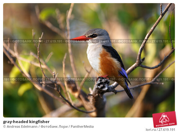 Купить «gray-headed kingfisher», фото № 27619191, снято 23 апреля 2019 г. (c) PantherMedia / Фотобанк Лори