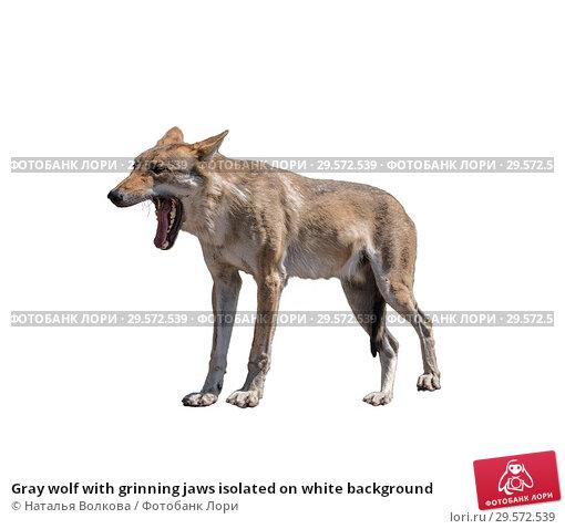 Купить «Gray wolf with grinning jaws isolated on white background», фото № 29572539, снято 20 июня 2017 г. (c) Наталья Волкова / Фотобанк Лори