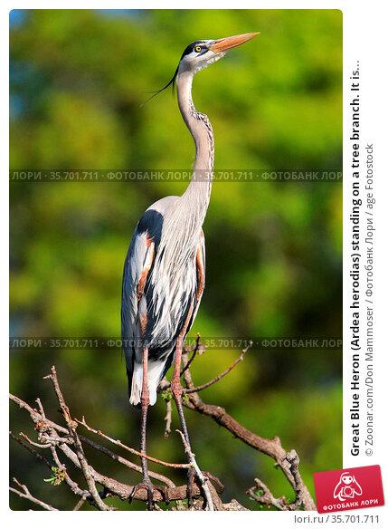 Great Blue Heron (Ardea herodias) standing on a tree branch. It is... Стоковое фото, фотограф Zoonar.com/Don Mammoser / age Fotostock / Фотобанк Лори