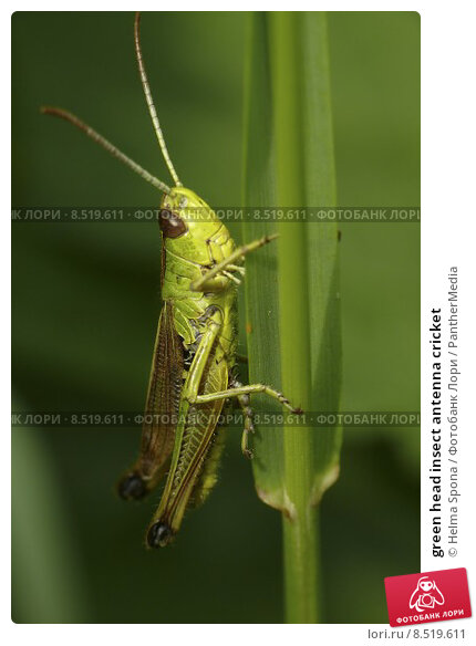 Grasshoppers and Crickets of North America